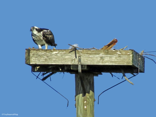 sand key osprey nest  2 ud43