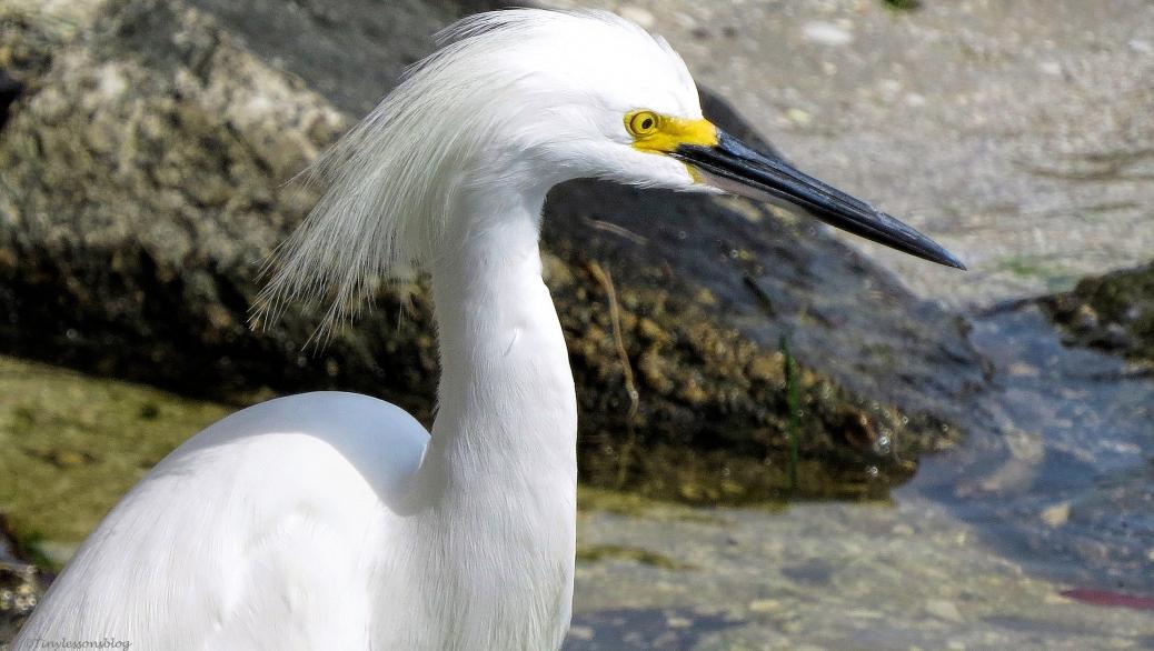 snowy egret ud45