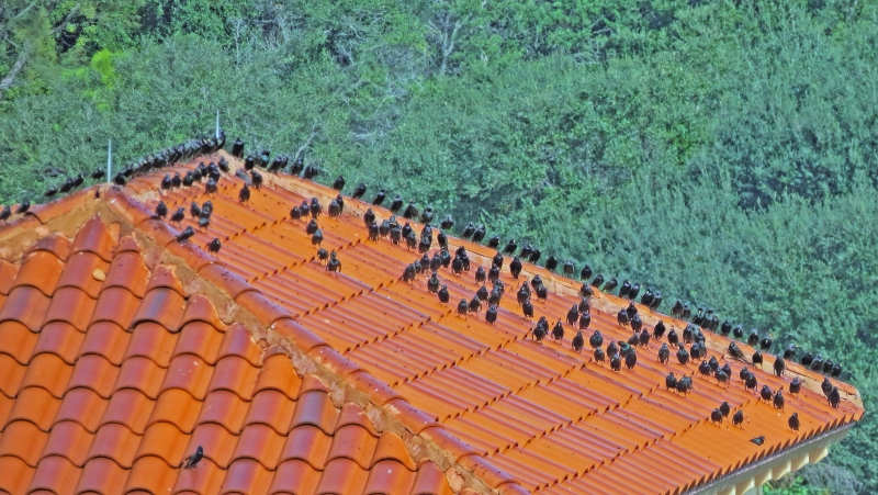 starlings on the roof