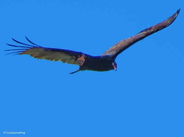 turkey vulture 2 ud44