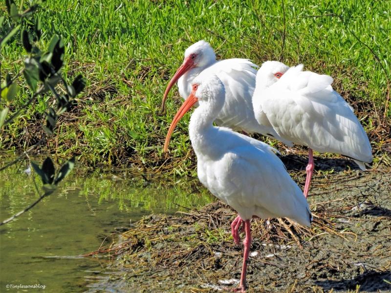 white ibis ud44