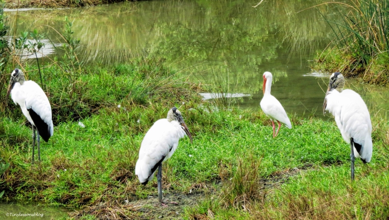wood storks and an ibis