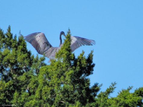 young great blue heron flees ud44