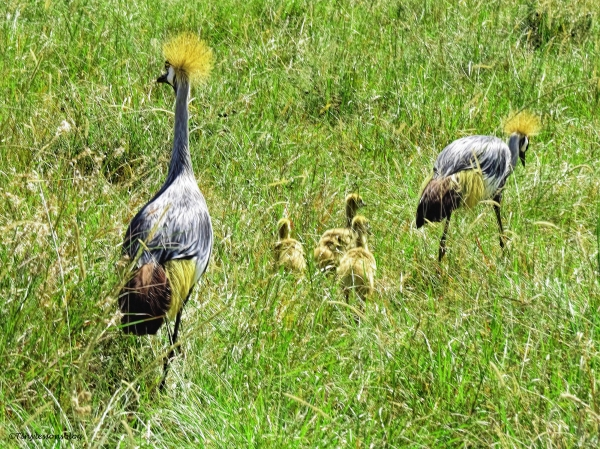 a family of Grey Crowned Cranes ud47