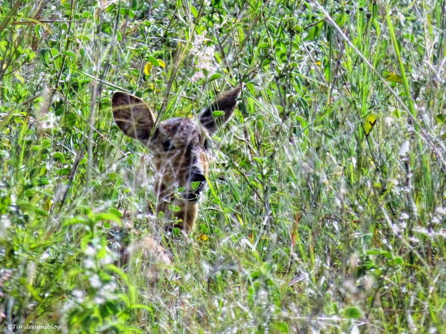 a young bushbuck ud48
