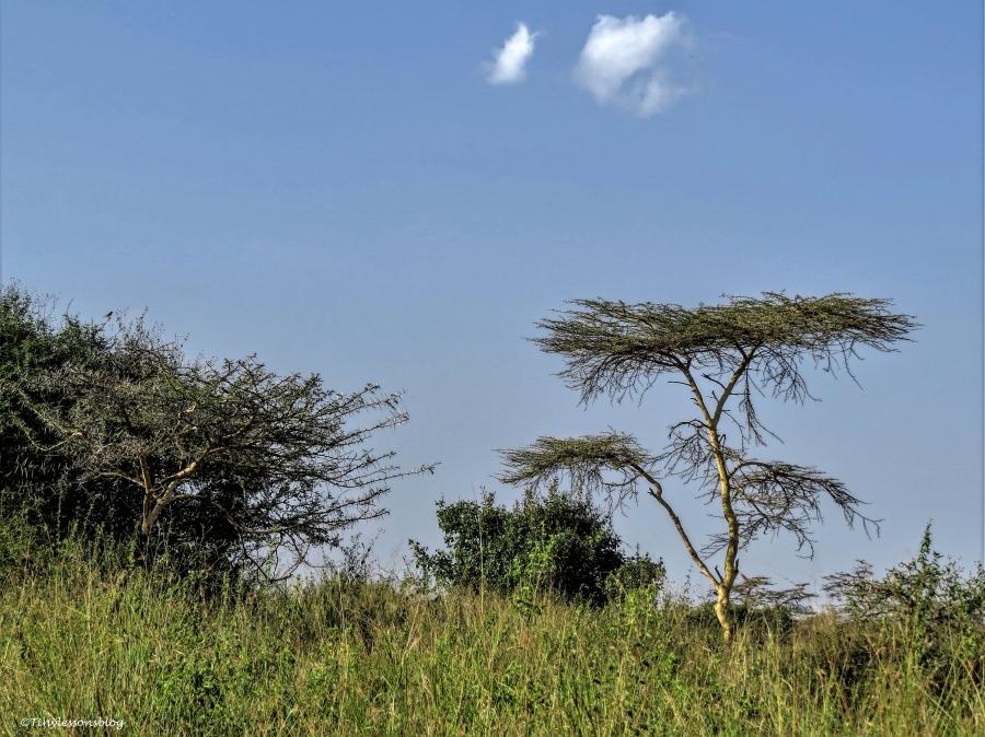acacia and bushes on the savannah ud48