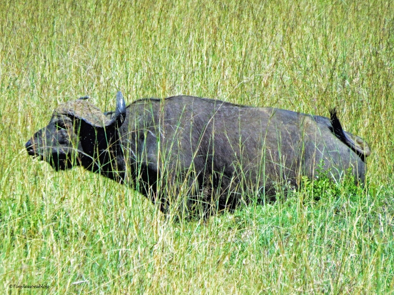 African buffalo ud48