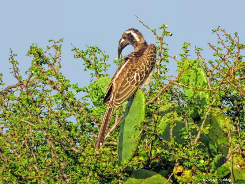 African grey hornbill 2 ud47