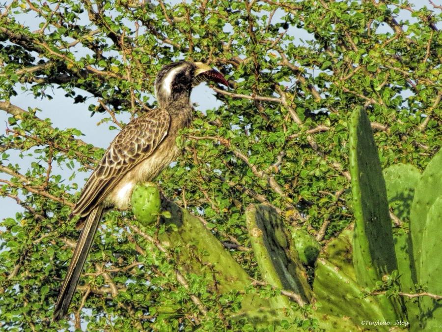african grey hornbill ud47