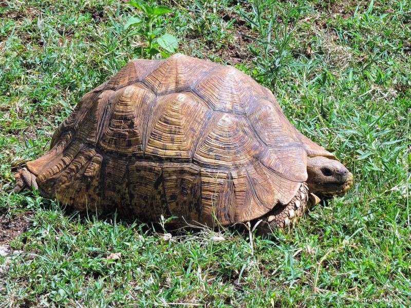 african spurred tortoise ud48