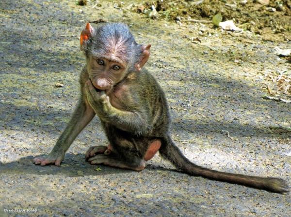 baboon baby 3 ud48
