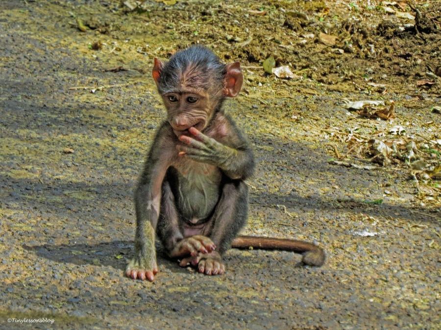 baboon baby ud48