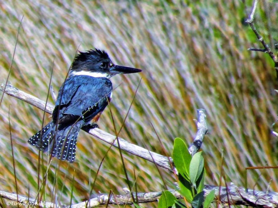 belted kingfisher ud46