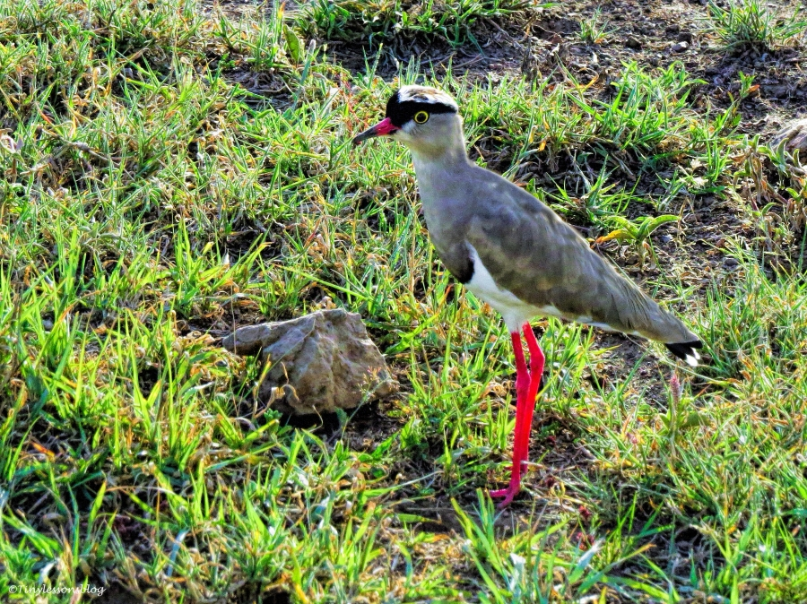crowned lapwing or crowned plover ud47
