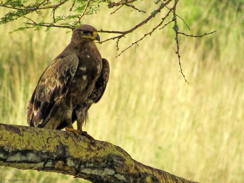 Dark morph tawny Eagle B ud47