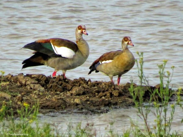 egyptian geese couple ud47