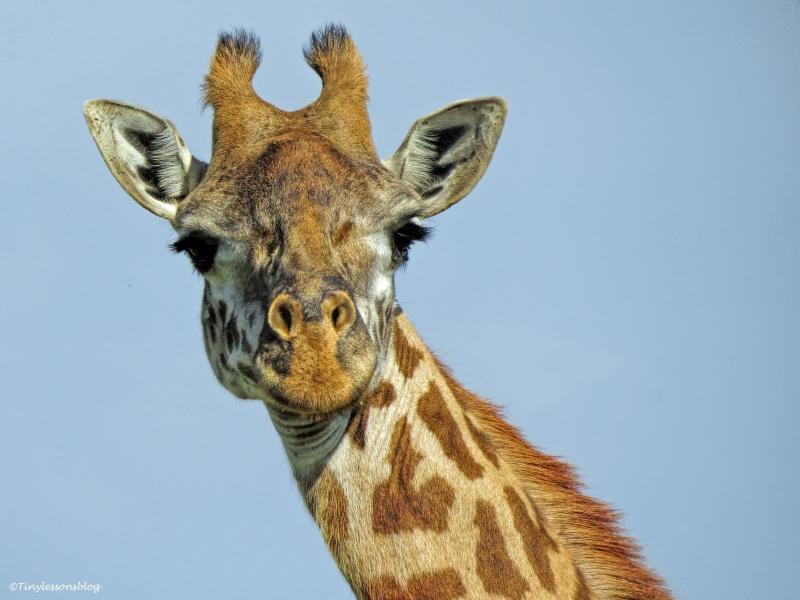 giraffe 1 ud48