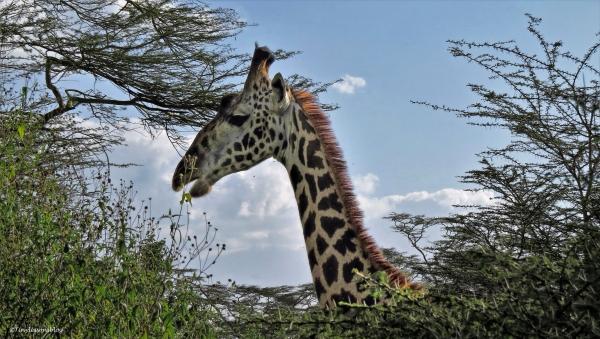 giraffe 16x9 ud48