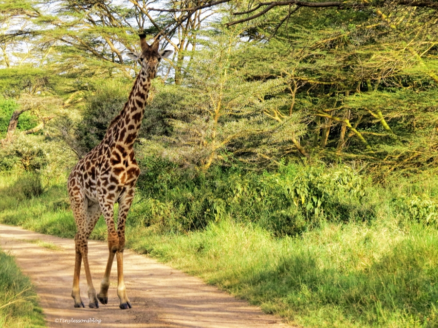 giraffe walks the trail ud48