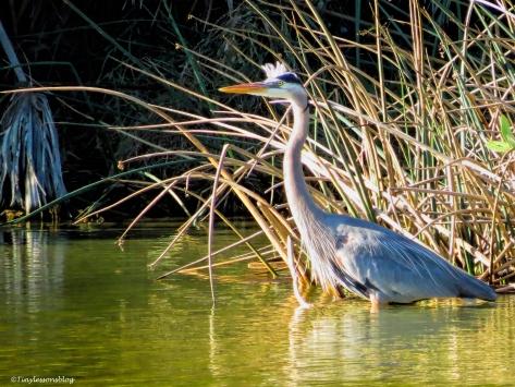 great blue heron ud46