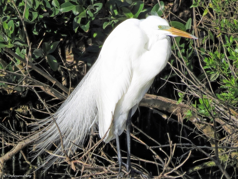 great egret 2 ud46