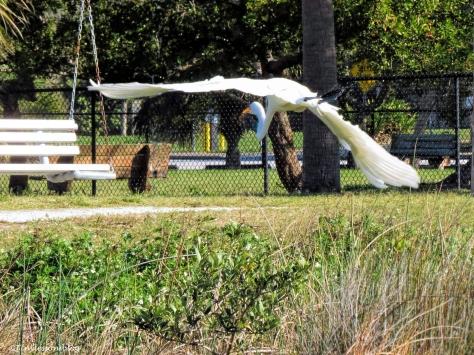 great egret flies away ud46