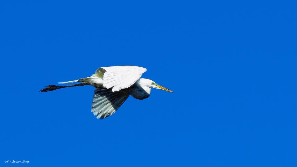 great egret flying ud46
