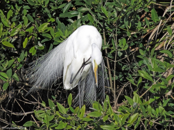 great egret in breeding plumage ud46