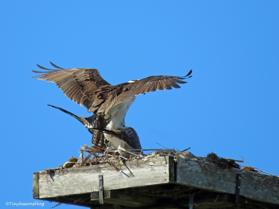 Mam and papa osprey mating 2 ud46