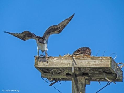 mama osprey flew into the nest ud46