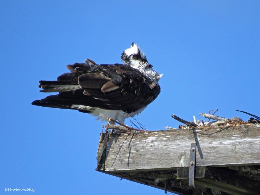 mama osprey preening ud46