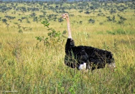 ostrich UD47