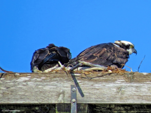 papa and mama osprey in the nest ud46