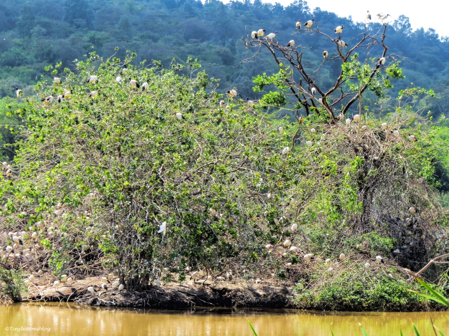 sacred ibis colony ud47