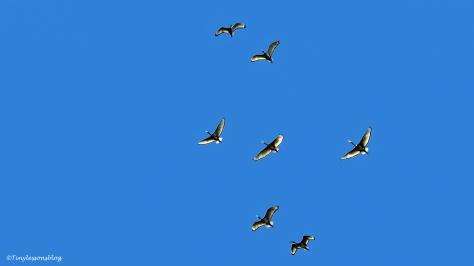 sacred ibis in flight ud47