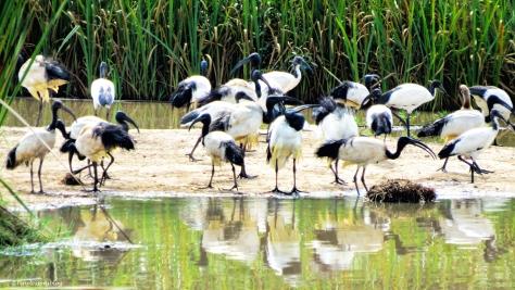 sacred ibis ud47