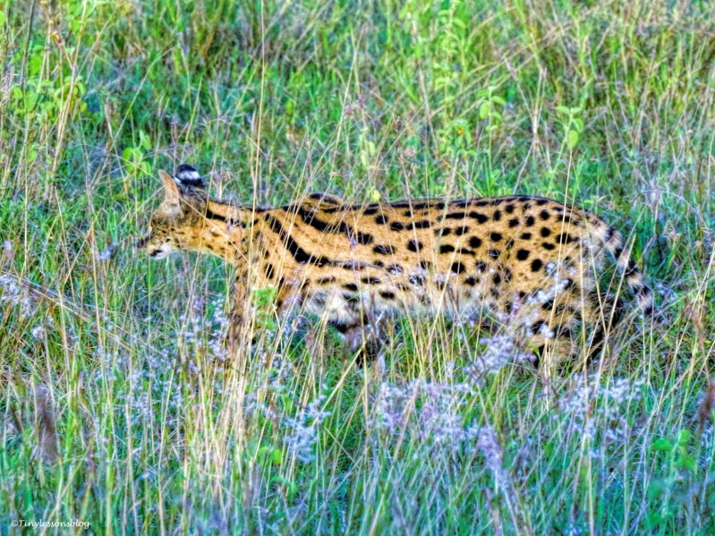 Serval ud48