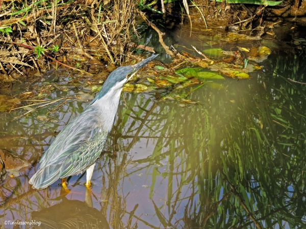 Striated heron ud47 also green backed heron