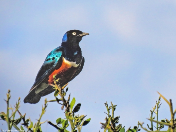 superb starling 3  ud47