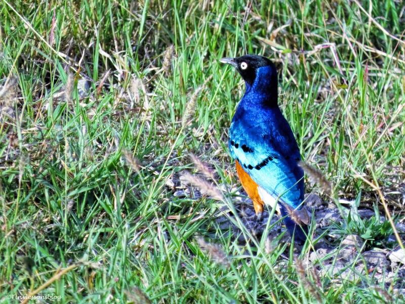 superb starling ud47