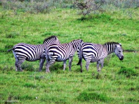 three zebras ud48