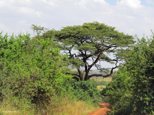 trail through savannah ud48