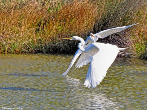 Two great egrets ud46