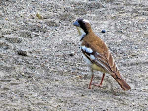 White-browed Sparrow-Weaver ud47