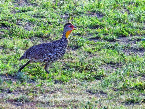 yellow-necker spur fowl ud47