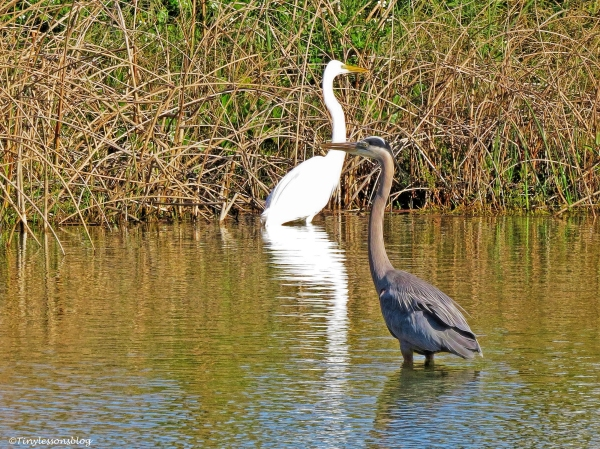 younger great blue heron and a great egret ud46