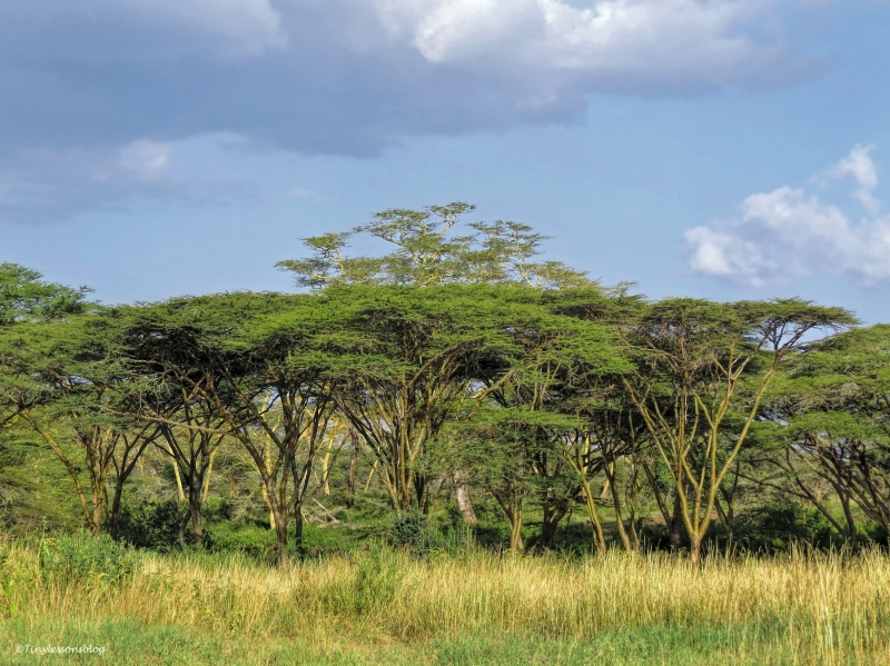 acacia trees on the svannah 2 ud48