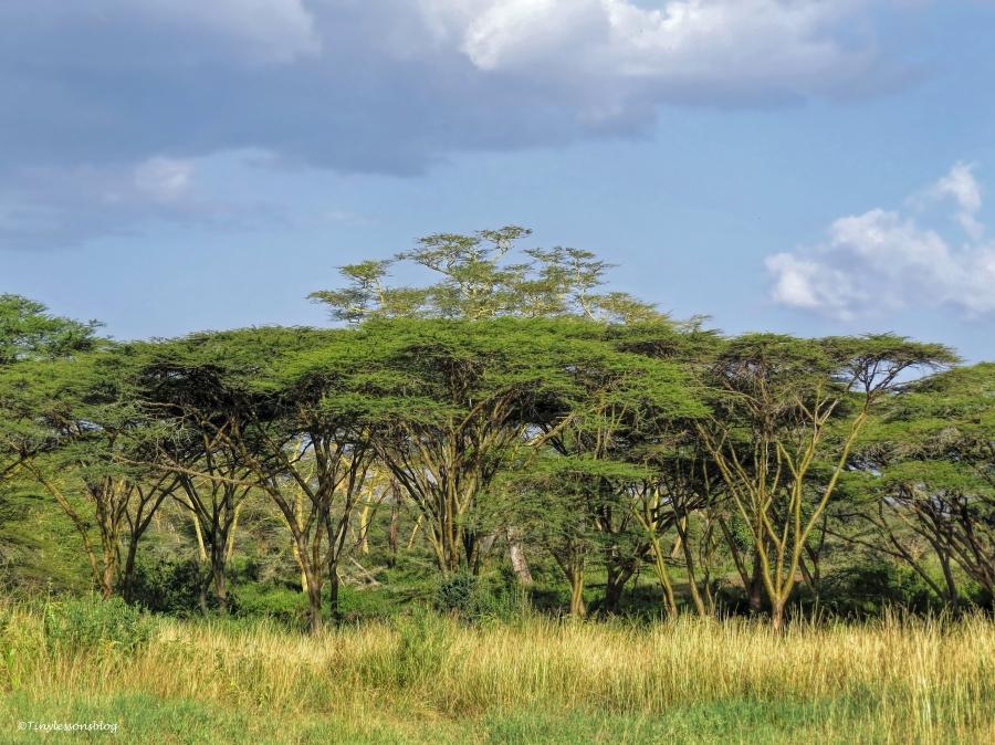 acacia trees on the svannah 2 ud48
