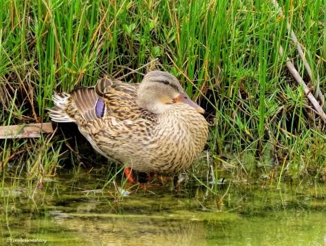 florida mottled duck female ud52