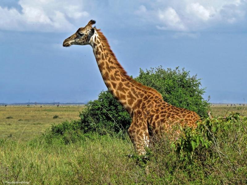 giraffe 4 ud48